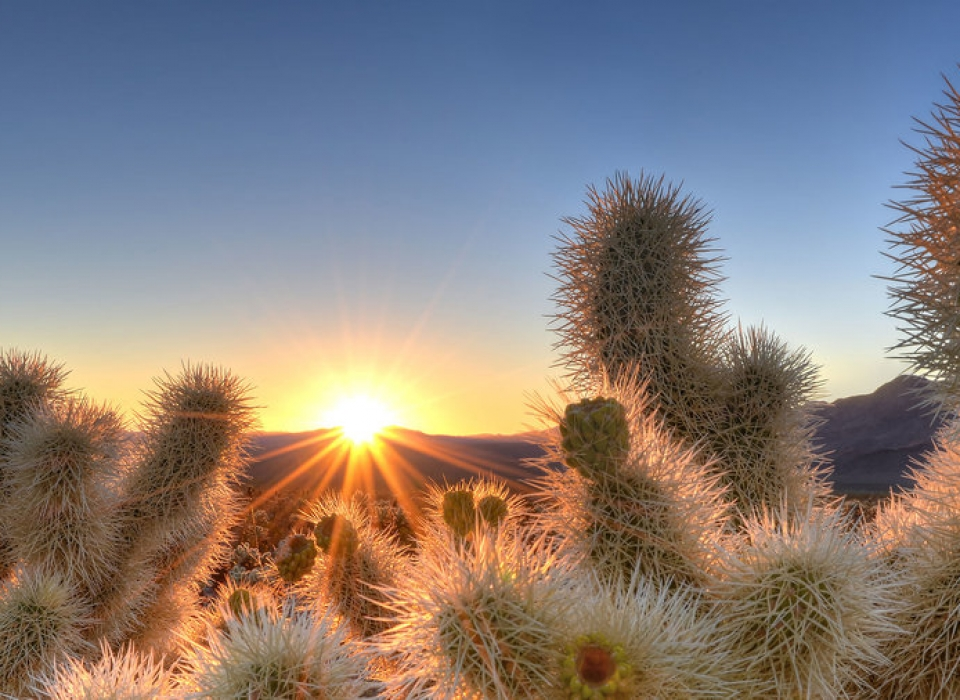 joshua-tree-cholla-cactus-garden-getty-sun-0516-xl